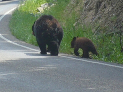 Black Bear with Cub